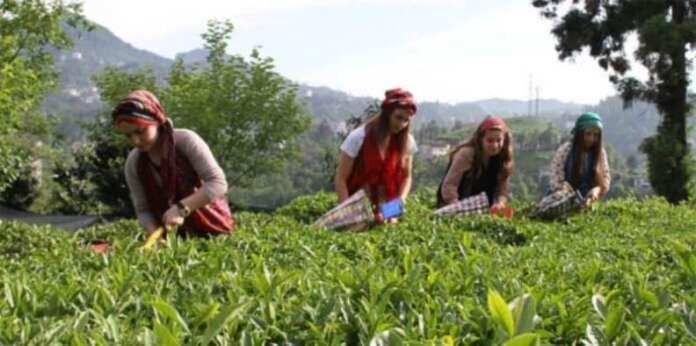 Çay Üreticileri İçin Kaçak Çay Büyük Tehdit