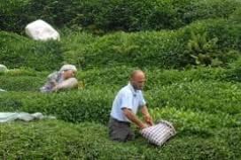 Çay Üreticileri Taban Fiyatının Sezondan Önce Açıklanmasını İstiyor