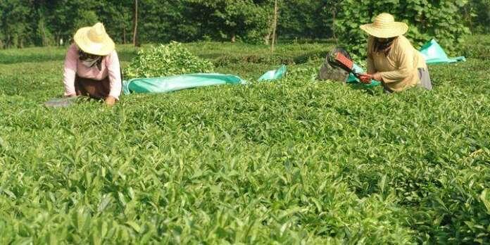 Çay Üreticilerine Uyarı: Belirlenen Fiyatın Altına Çay Satışı Yapmayın!